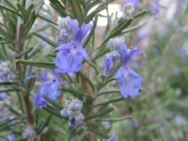 集中力を高ローズマリーの香りはエントリーシートの作成のときにおすすめ。紫のローズマリーの花の画像。