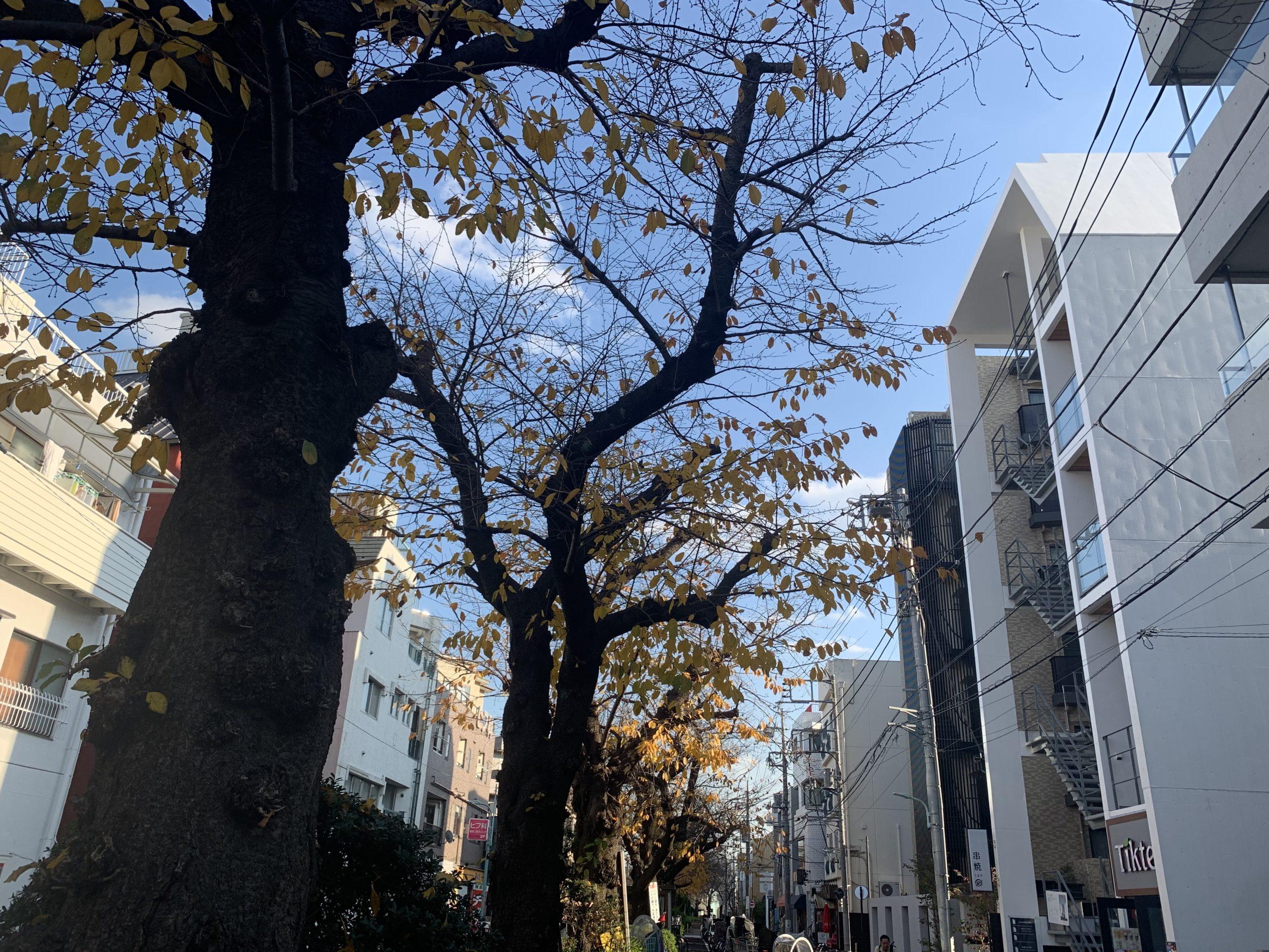 都立大学駅近の呑川緑道桜並木